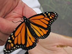 The first monarch was spotted in Plains on August 18th on Rosalynn Carter's 87th birthday!  We have spotted several in the public gardens in Plains. Monarchs have also been spotted in private gardens around Plains.   This monarch is one that was raised from an egg found on milkweed in one of the public gardens, tagged and released in 2013.