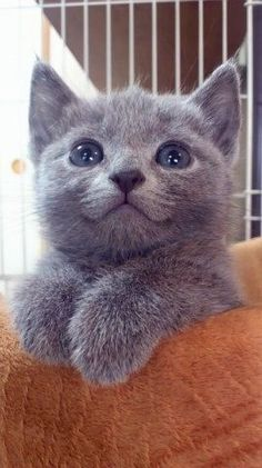 OMG.. Beautiful grey KITTEN..