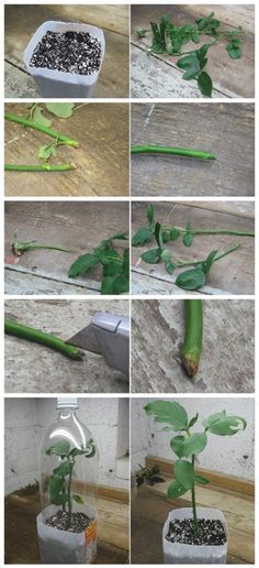How to Root Roses From Cuttings 2 Growing Plants, Rooting Roses, Plant Care, Plant Roots, Propagating Roses, Propagating Plants, Plants, Planting Flowers, Rose Trees