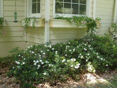 MARIETTE'S BACK TO BASICS: {Our Gardenia jasminoides 'Radicans'}