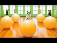 Кинозал сайта infoportal.lv - Рижский портал бесплатных объявлений Best Funny Videos, Funny Animal Videos, Funny Animals, Tv Funny, Funny Cat Compilation, Funny Cats And Dogs, Pet Life, Try Not To Laugh, Pet Health