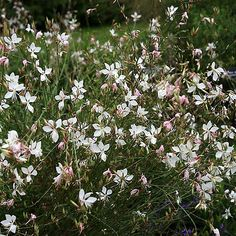 "gaura. Self seeding perennial. Full or partial shade. 45""x35""tall & wide. Blooms all summer."