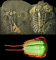 Speaking of trilobites, here's one in non-cookie form.  The Royal Ontario Museum sells packs of Primeval Predators from the Burgess Shale, which include Pikaia gracilens, Laggania cambria, Olenoides serratus, Opabinia regalis, and Wiwaxia corrugata.  They're AWESOME.