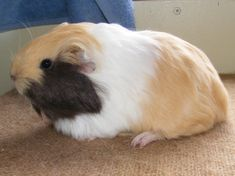 SE England Baby guinea pigs Shelties and Swiss - Reptile Forums