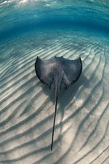 Ocean Frontiers in Grand Cayman and the amazing Stingray Alley Stingray Tattoo, Stingray Fish, Whale Tattoos, Orca Tattoo, British West Indies, Ocean Creatures, Grand Cayman, Underwater World, Ocean Life