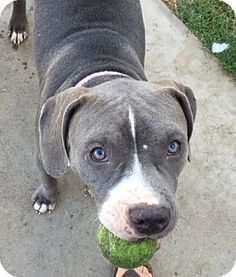 Mission Viejo, CA - Pit Bull Terrier/Labrador Retriever Mix. Meet Sadie a Puppy for Adoption.