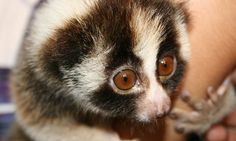 Cute Slow Loris | Slow loris is super cute and super deadly