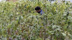 #Chubut es la primera provincia en incluir el aceite de cannabis en el sistema de salud - LA NACION (Argentina): LA NACION (Argentina)…