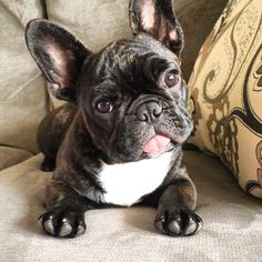 Tongue out Tuesday! French Bulldog Puppy