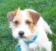 Strawberry is an adoptable Jack Russell Terrier (Parson Russell Terrier) Dog