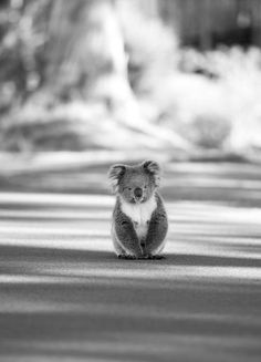 Cute Animals Pics) wanted to find a koala black nd wite pic yay Cute Creatures, Beautiful Creatures, Animals Beautiful, Beautiful Birds, Cute Baby Animals, Animals And Pets, Funny Animals, Wild Animals, Mundo Animal