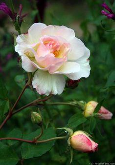 Penelope ~ Hybrid Musk / Shrub Rose
