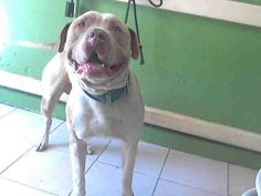 TOBY - URGENT - L.A. COUNTY ANIMAL CARE CONTROL: CARSON SHELTER in Gardena, CA - Adult Male Pit Bull Terrier