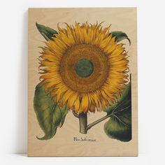 Vintage Sunflower Botanical Illustration Art from the Hortus Botanical Drawings, Botanical Prints, Botanical Gardens, Botanical Flowers, Sunflower Art, Yellow Sunflower, Vincent Van Gogh, Canvas Art Prints, Vintage Posters