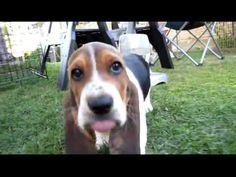 Love Basset Puppies!