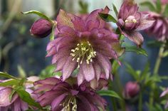 Top ten winter-blooming plants for Pacific Northwest gardens.  From Oregonian.