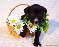 Xg Litter-Bobo is an adoptable Labrador Retriever Dog in Livonia, MI You can fill out an adoption application online on our official website.If interested in an ... ...Read more about me on @petfinder.com