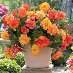 Flower Garden Begonia (Begonia) is one of the most beautiful plants used to decorate gardens, parks, squares and in apartments as houseplants. This flower belongs to the Tuberous Begonia, Rare Flowers, Beautiful Flowers, Flower Seeds, Flower Pots, Belle Plante, Outdoor Flowers, Blooming Plants, Container Plants