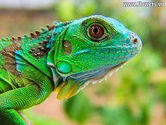 Green Iguana | green iguana lizards photos