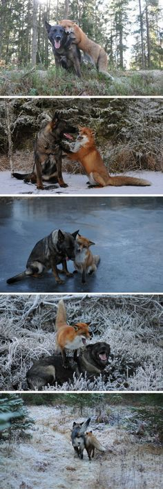 Sometimes real-life animal friendships are even better than fiction — Tinni is a dog and Sniffer is a wild fox, and the two of them are the best of friends.