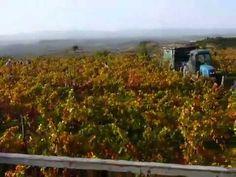 Último día de Vendimia en los viñedos de Remelluri. #RiojaAlavesa http://riojaalavesa.blog.euskadi.net/ultimo-dia-de-vendimia-en-los-vinedos-de-remelluri Mahats-bilketaren azken eguna Remellurirko mahastietan. http://arabaerrioxa.blog.euskadi.net/mahats-bilketaren-azken-eguna-remellurirko-mahastietan