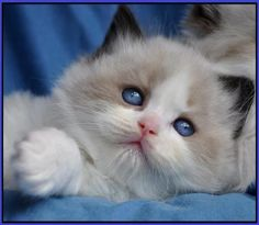 Adorable kitty with such beautiful blue eyes