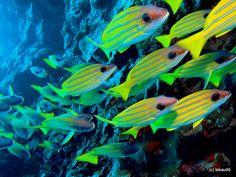 Bluestripe snapper...great shot (Maldives)