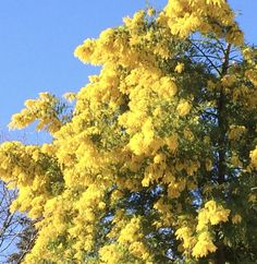 Mimosa tree in Montpellier france