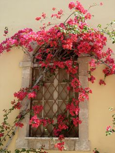 Greece where the bouganvillia grows more beautifully than anywhere else in the world. Must be something about the sunshine in Greece.