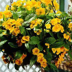 English primrose - B