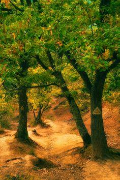 September forest - Mountain oak