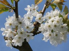 If you only want to grow one cherry tree, choose Stella - self-fertile, easy to grow, and a good pollinator. Visit our site for advice on choosing cherry trees. Fruit Trees, Trees To Plant, Garden Great Ideas, Down On The Farm, Cherry Tree, Flowering Trees, Types Of Plants, Garden Design, Life List