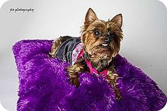 Baton Rouge, LA - Yorkie, Yorkshire Terrier. Meet Millie, a dog for adoption. http://www.adoptapet.com/pet/10513120-baton-rouge-louisiana-yorkie-yorkshire-terrier