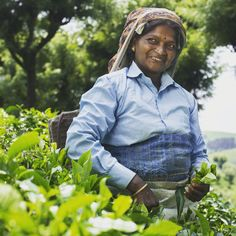 This woman works as an organic tea plucker on the Devabetta Tea Estate, one of the United Nilgiri Tea Estates (UNTE), in Tamil Nadu, India. In total, this estate system employs about 450 fair trade workers.       #fairtrade