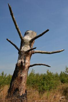 Deze boom is overend gebleven na de brand vijf jaar geleden in de Strabrechtse heide