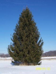 Evergreen Trees: Everything you ever wanted to know