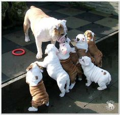 The major breeds of bulldogs are English bulldog, American bulldog, and French bulldog. The bulldog has a broad shoulder which matches with the head. Animals And Pets, Baby Animals, Funny Animals, Cute Animals, Wild Animals, Cute Puppies, Cute Dogs, Dogs And Puppies, Doggies