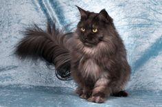 2 Januari 2016. 4 Jaar en 3 maand oud. Maine Coon Maine Coon, Cats, Animals, Gatos, Animales, Animaux, Animal, Cat, Animais
