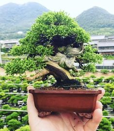 Home Garden Design, Home And Garden, Bonsai Plants, Bonsai Trees, Mame Bonsai, Juniper Bonsai, Miniature Trees, Tree Of Life, Beautiful Landscapes