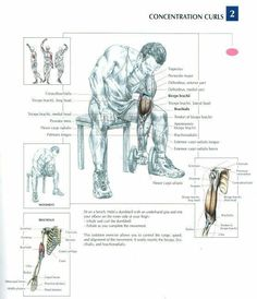 Concentration curls anatomy workout