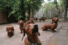 It's a school of dachshunds!