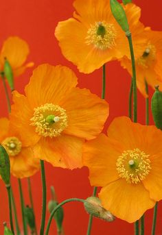 beautiful orange poppies