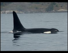 King    A male Killer Whale is surfacing around San Juan Island - WA, USA;  looking for a Salmon
