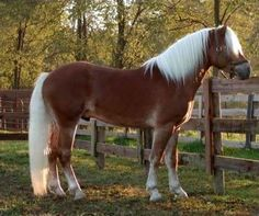 A breed of horse developed in Austria during the late 19th century, Haflinger is known for its chestnut color and characteristic energetic and elegant gaits. A short horse in stature, about 177 to 152 m tall, Haflinger has refined head, large eyes, light colored mane and white to golden-haired tail. A gentle and intelligent breed of horse, Haflinger excel in such disciplines like Driving, riding, trail and pleasure.