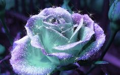 rose flowers wallpaper: Rose Flowers Wallpaper Desktop