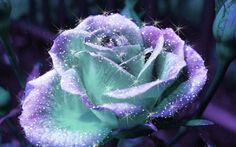 rose flowers wallpaper: Rose Flowers Wallpaper Desktop