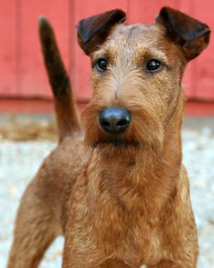 Champion Red Branch Mystic Druid Airedale Terrier, Welsh Terrier, Terrier Breeds, Wire Fox Terrier, Terrier Puppies, White Terrier, Terrier Mix, Baby Dogs, Dogs And Puppies