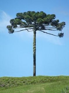 Araucária - Araucaria (pronunciation: /ærɔːˈkɛəriə/) is a genus of evergreen coniferous trees in the family Araucariaceae. There are 19 extant species in New Caledonia (where 13 species are endemic), Norfolk Island, eastern Australia, New Guinea, Argentina, Chile, and southern Brazil.