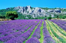 Lavender Fields in South of France - mid July through August