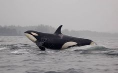 Wild Orca enjoying its Freedom